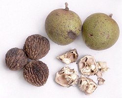 черный орех свойства